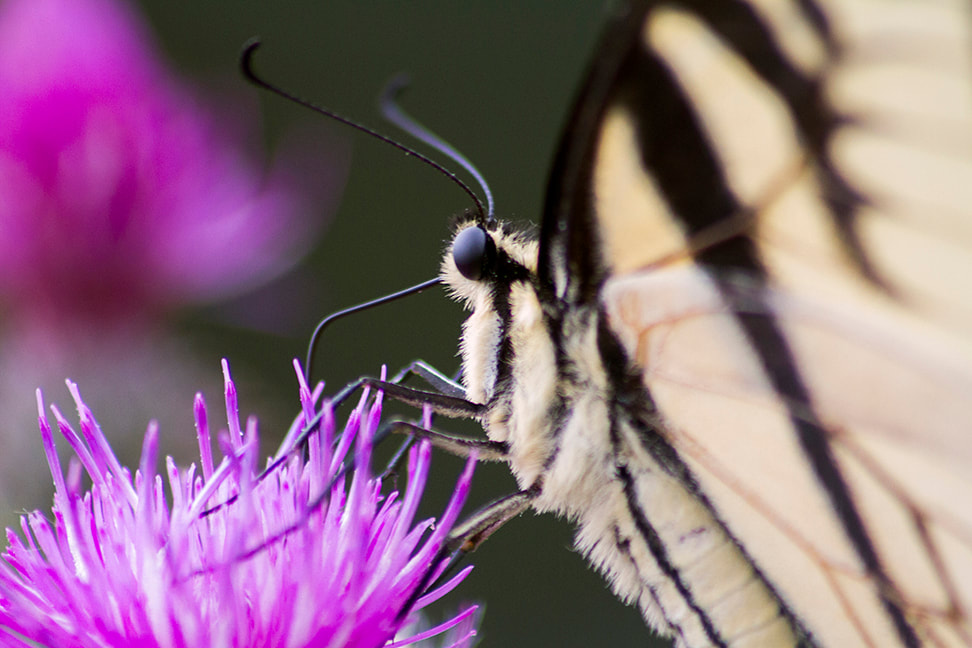 Eastern Tiger Butterfly closeup on pink thistle