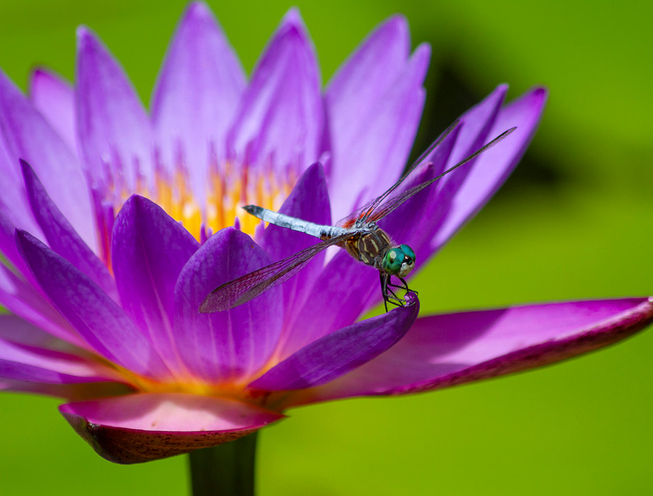 Purple Lotus with blue dragonfly