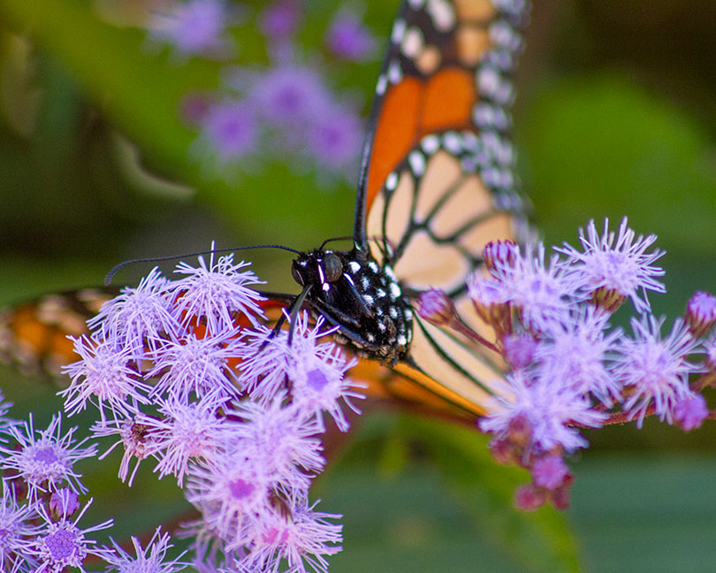 Monarch butterfly and ironweed